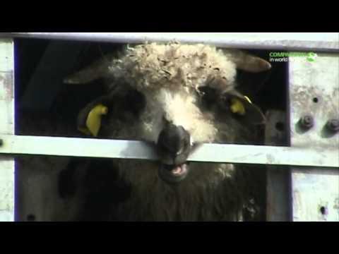 Long distance transport of sheep (Greece 2011)