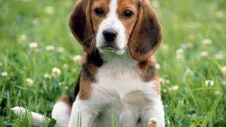Бигль. Породы собак(Бигли -- маленькие и очень живые собаки. Они отличаются высокими интеллектом, социализацией и отлично наход..., 2013-07-10T10:08:30.000Z)