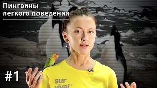 Пингвины легкого поведения: поощрительное спаривание у пингвинов Адели // Все как у зверей #1