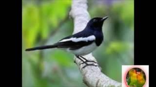 Suara Burung MASTERAN KACER POCI, Untuk Pancingan Kacer Gacor