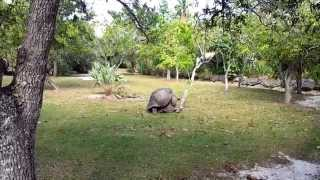 Giant Turtles making love - Mating Ritual of the Giant Turtle at the Zoo Miami
