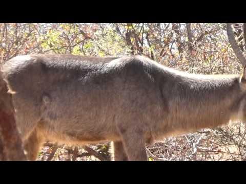 Motsomi Safaris Bow Hunting Waterbuck Brian Hess
