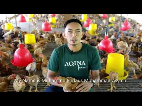 AQINA FARM ORGANIK CHICKEN MD2 PINEAPPLE