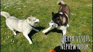 Sherpa Visiting his Nephew Nanook | Husky / Malamute playtime