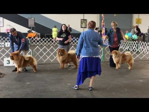 Chow chow ring: Woofstock 2017