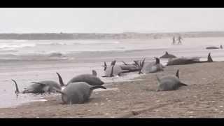 На берег в Японии выбросились 150 дельфинов