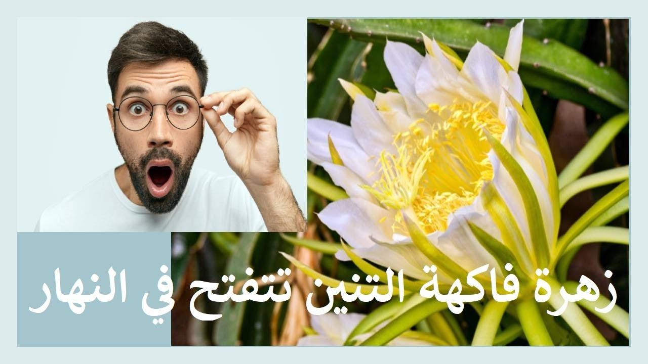 زهرة فاكهة التنين تتفتح في النهار !!!