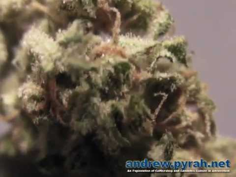 Royal Haze Automatic from THE GROW - Amsterdam Weed Review
