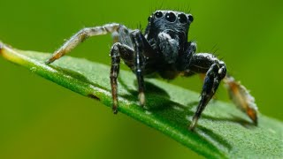 It's Mate or Die for this jumping spider  | Seven Worlds, One Planet | BBC Earth