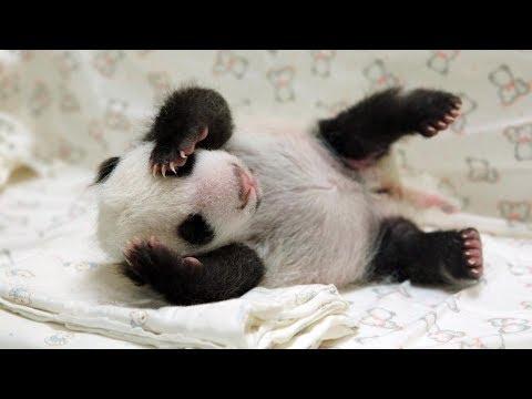 beauval un b b panda venir youtube. Black Bedroom Furniture Sets. Home Design Ideas