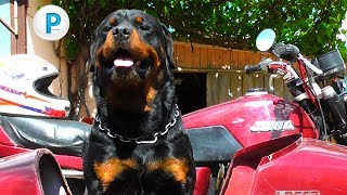 Ротвейлер на мотоцикле Rottweiler on a motorcycle