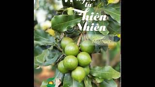 Hạt Mắc ca sấy khô Mattiaca của Macca Vip - Vị ngon từ thiên nhiên