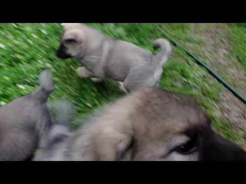 Norwegian Elkhound Puppies at 7 Weeks Playing
