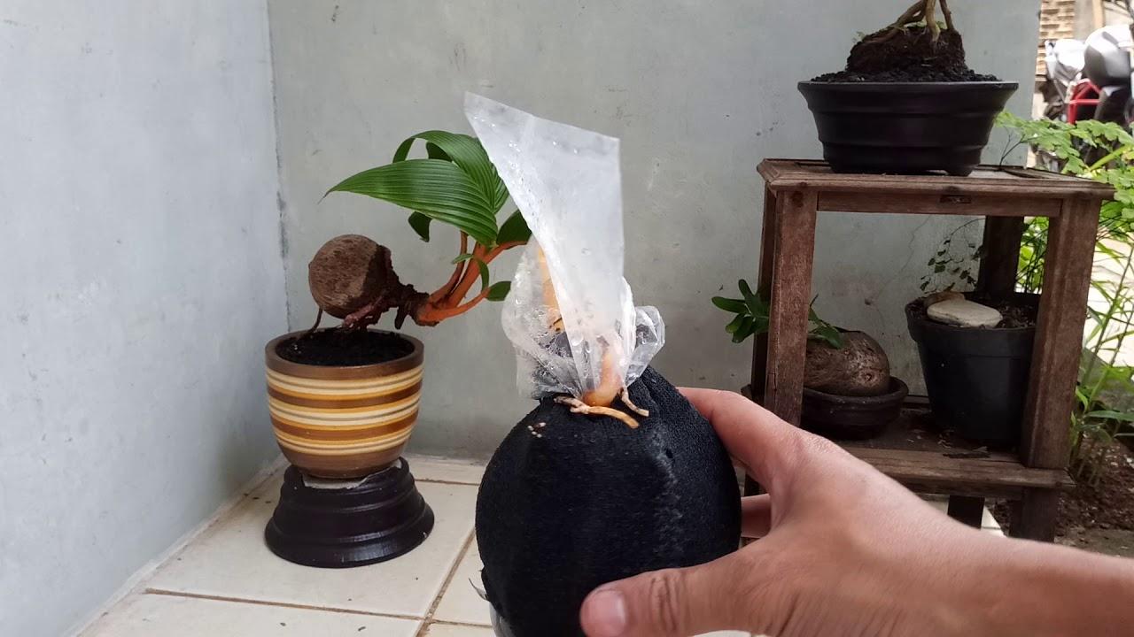 27 Hari Setelah Pangkas Batang Bonsai Kelapa Belajar Bonsai Youtube