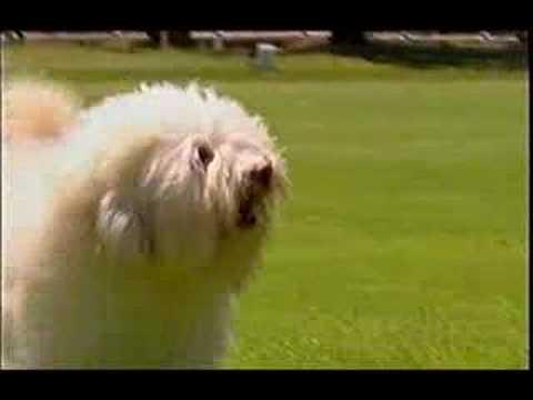 Lowchen on Pet Talk  ABC Australia