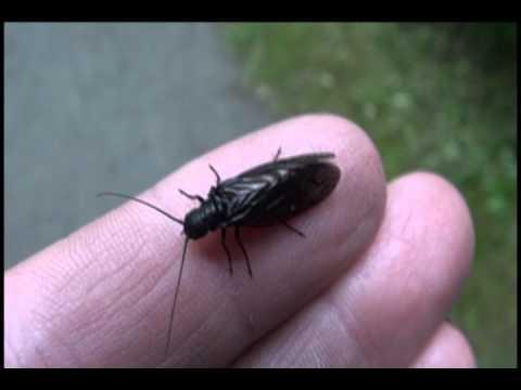 Alderfly - Family Sialidae