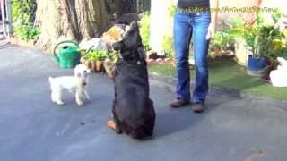 Teasing Dogs - Playing With Dogs For Food - Rottweiler & Mini Poodle Toy