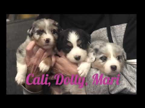 4 week old puppies!! Australian Shepherd Floofers