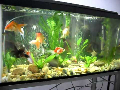 Mi pecera con goldfish japoneses carpa koy besadores for Alimento para goldfish