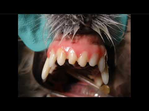 Common Radiographic Case Examples In Veterinary Dentistry