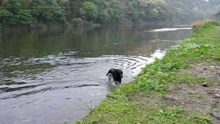 うちの太ったフラットコーテッドレトリーバーは川に連れて行くと川に飛...