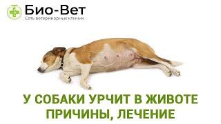 У собаки урчит в животе  причины, лечение, профилактика