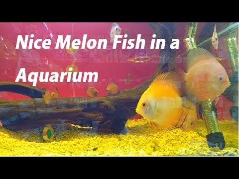 Nice Melon Fish in Aquarium
