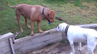 Dogue De Bordeaux And American Bulldog Playing