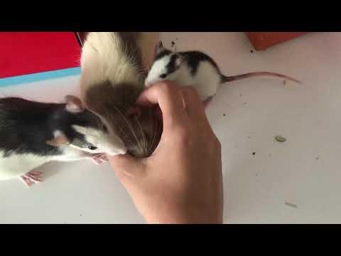 Крысы стаей кусают пальцы!