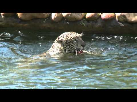 Agro TV - 46: Otorongo, felino declarado en peligro de extinción es cuidado en  Pucallpa