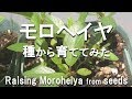 モロヘイヤ 種から栽培 収穫と料理 の動画、YouTube動画。