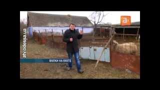 Волчья резня в Одесской области — уничтожены 24 овцы