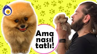 TEDDY BEAR DOG! Cute Pomerian Puppy Latte! (0.78kg!?) #inanoğlu