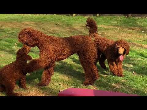 Poodle Puppies - Vision Red Standard Poodles | Vision Red Standard