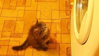 Сибирская кошка. 1,5 месяца. Нападение на стиральную машинку (в конце видео)