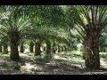 Tips Meningkatkan Mutu dan Hasil Produksi Sawit Nasa Lampung