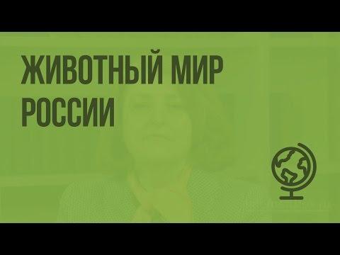 Животный мир России. Видеоурок по географии 8 класс