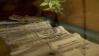 My Green Eyed Tokay Gecko (Gekko Smithii) Vertigo