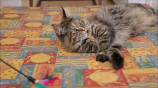 Testing cat toys - Norwegian forest cat vs Maine coon