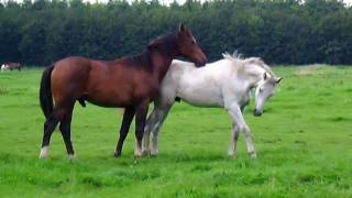 Horses in the field (Stabilized)