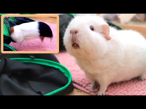 Guinea Pig Can't Stop Popcorning Floor Time Vlog