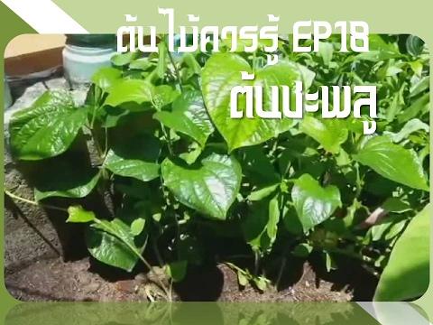 ต้นไม้ควรรู้ ep18 ต้นชะพลู | สมุนไพรไทย ประโยชน์ สรรพคุณ มากล้น