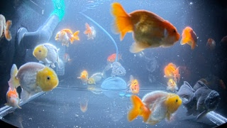 East Coast Ranchu Goldfish Live Stream Channel 1 thumbnail