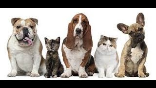 Уши кота?Нужно ли чистить уши кошке ?/Ann happy pets