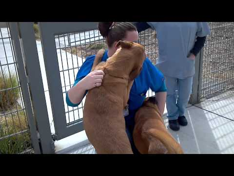 Lab mastiff mix safe from martinez shelter