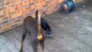 Doberman V Border Terrier Cross