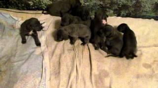 Продаются классные щенки немецкого дога ! Спешите(продам щенков немецкого дога !!, 2013-01-02T14:51:23.000Z)