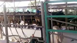 al barkat dairy farm  milking system in arifwala punjab  pakistan