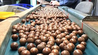 Awesome Macadamia Nut Cultivation Technology - World Most Expensive Macadamia Farming and Harvest