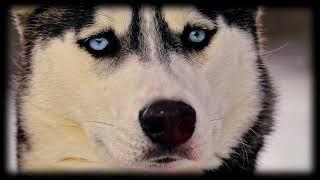 Příběh psa (Husky)